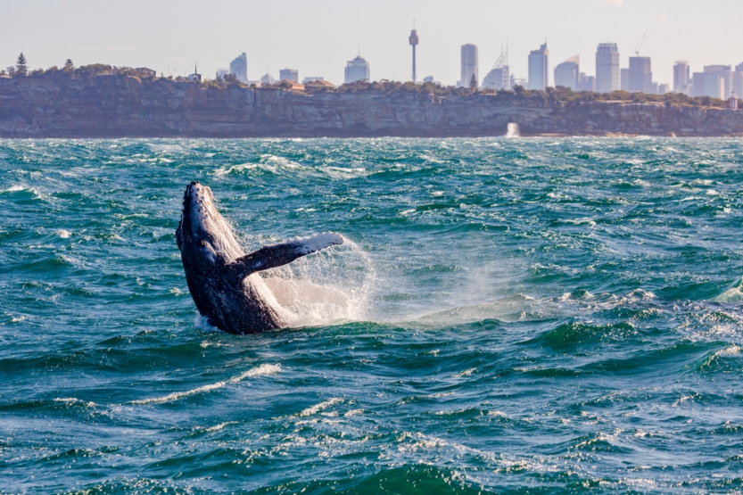 Sydney Whale - Watching Cruise